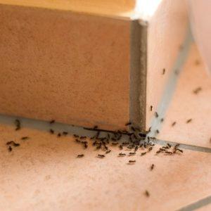 get rid of ants2